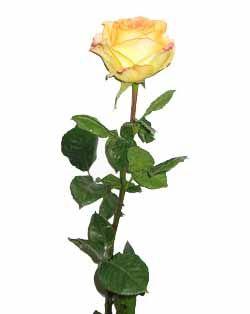 friend a single rose